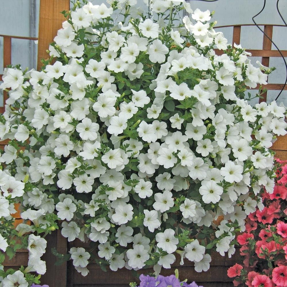 Surfinia Snow Hanging Baskets Petunias Plants