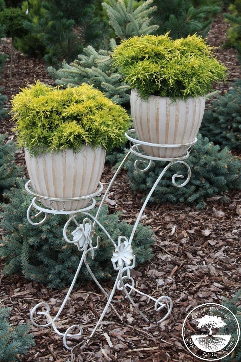 Juniperus X Pfitzeriana Yellow Sapphire Yellow Sapphire Yellow Sapphire
