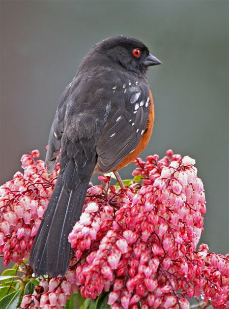 spotted towhee   #bird