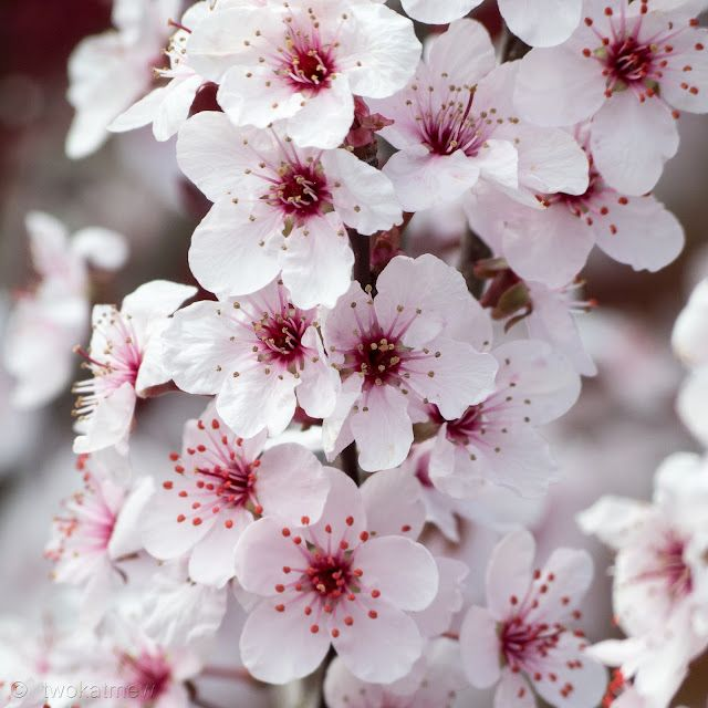 Purple Sand Cherry.  (It blooms for about a minute each spring.