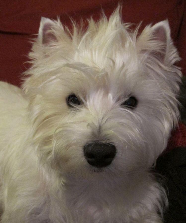Doggie Westie Dogs Westie Puppies Westies