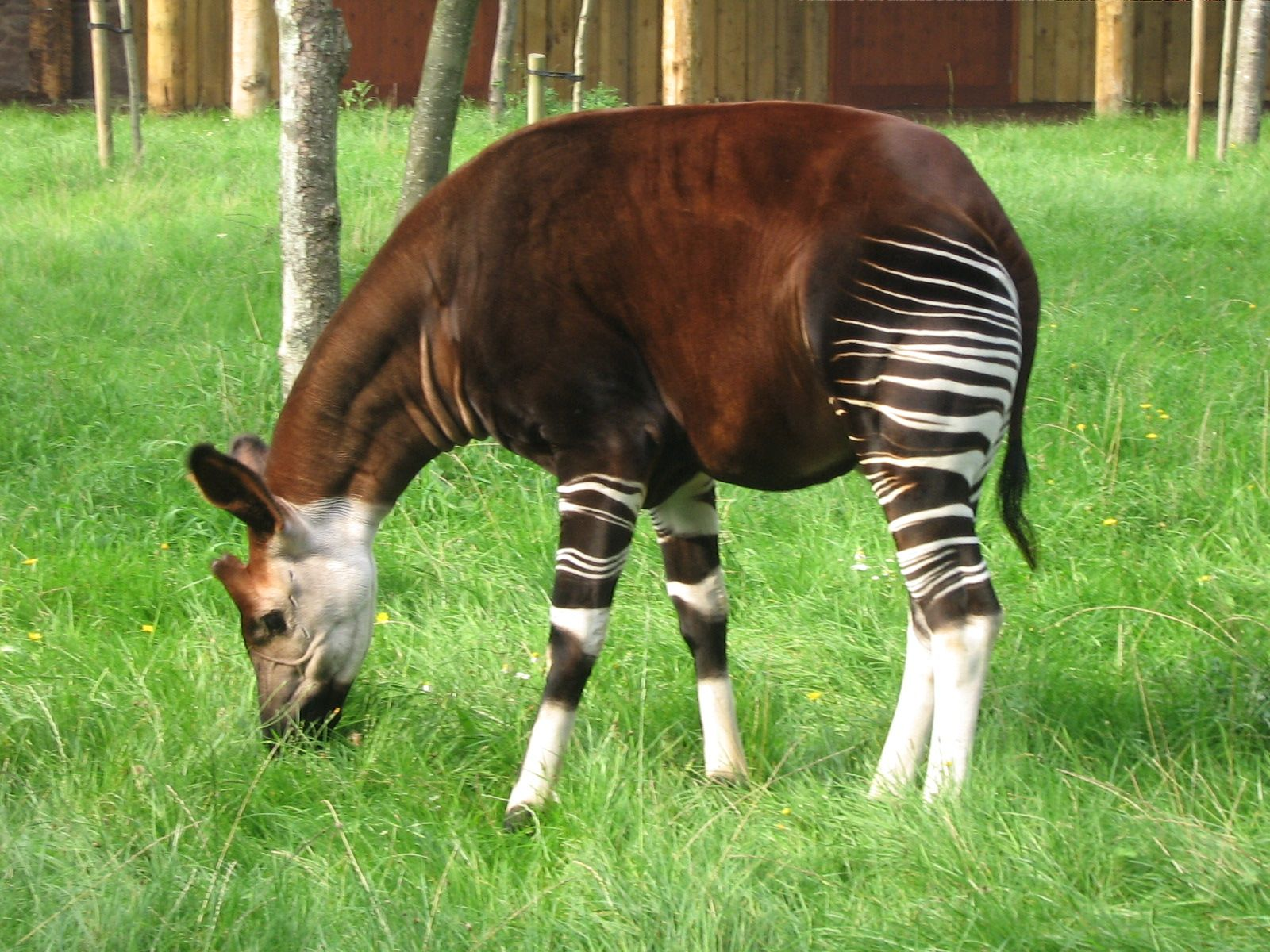 Okapi Okapi by Chikiya GODS AMAZING CREATURES (5