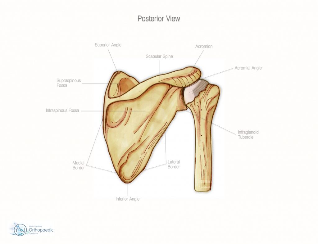 Human Shoulder Diagram Human Shoulder Bone Structure Shoulder Bone