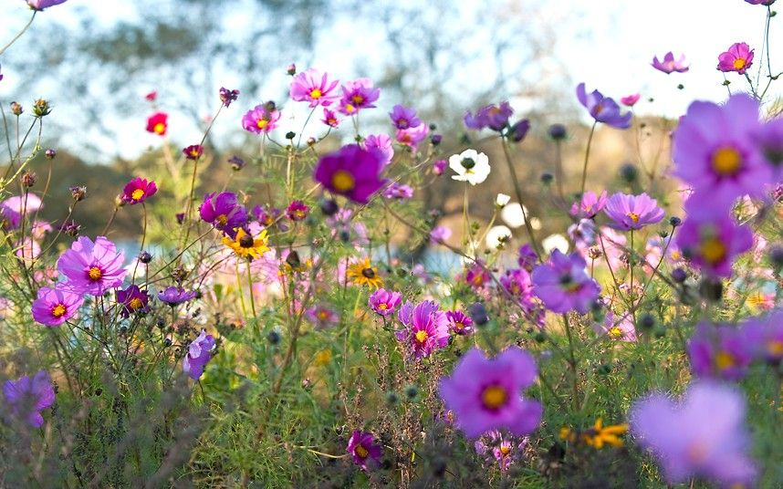 How To Grow Your Own Meadow Rhs Flower Show Cosmos Flowers Tatton Park Flower Show