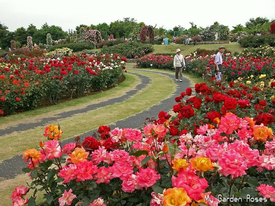 Https Www Facebook Com Love Roses 2016 Photos Pcb 1802515073349459 1802514380016195 Type 3 Theater Beautiful Gardens Gorgeous Gardens Garden