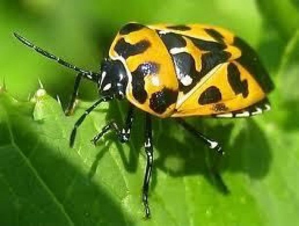 Pest: Harlequin bug - major pest of cabbage other brassicas such as broccoli radishes kale collards mustard turnips Brussels sprouts and cauliflower; also may attack corn tomatoes okra squash asparagus and beans..