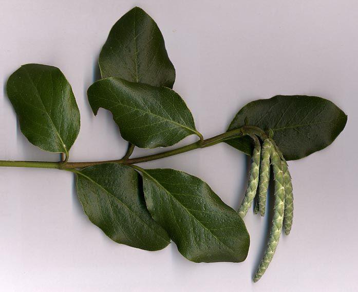 Garrya Elliptica Wikipedia Planting Flowers Plant Identification Evergreen Shrubs