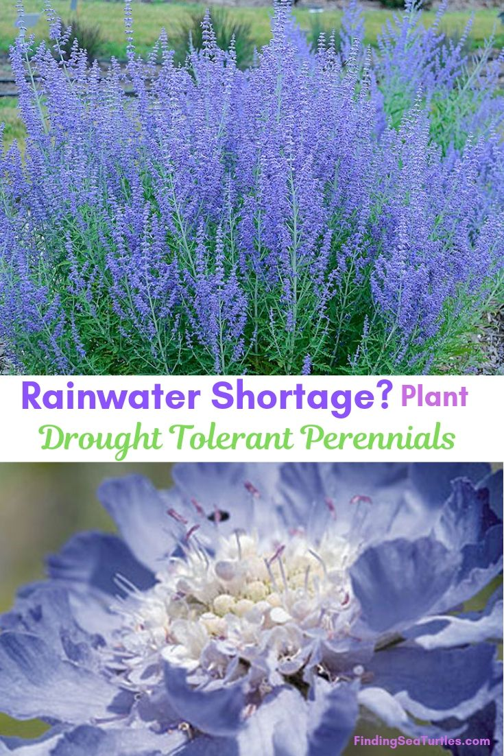 25 Drought Resistant Perennials is part of Drought resistant plants, Drought tolerant perennials, Drought resistant, Drought tolerant landscape, Garden shrubs, Perennials - Searching for plants that get by with less water like drought resistant perennials  Plants that thrive and still look amazing! Need less frequent waterings