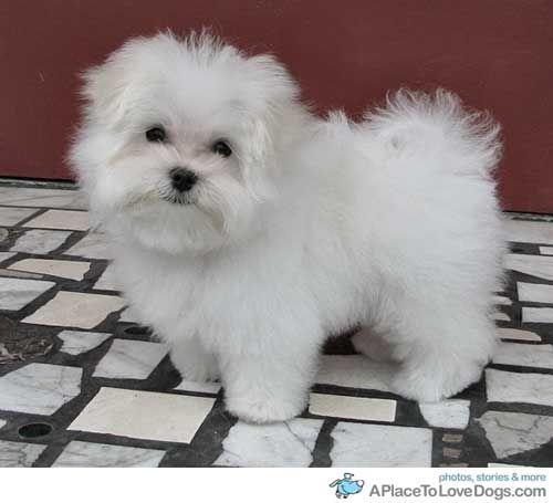 Palmer 6 Month Old Maltese Puppy Maltese Puppy Puppies White