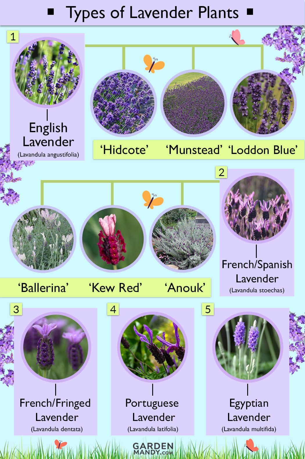 Lavender Plant Types With Names English French Lavender Flower Colors White Lavender P In 2020 Types Of Lavender Plants Lavender Plant French Lavender Plant