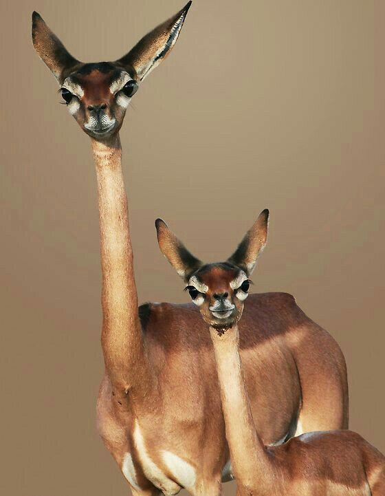A gazela-girafa  É um antílope encontrado em regiões áridas da África.  Tal espécie possui pescoço muito longo e fino, que lembra o das girafas.