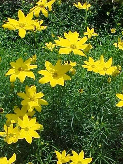 Low maintenance perennials mo coreopsis verticillata zagreb low maintenance perennials mo coreopsis verticillata zagreb threadleaf coreopsis herbaceous perennial bread and butter perennial mightylinksfo