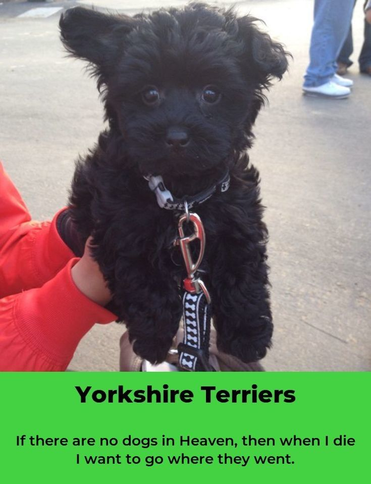 Yorkshire Terrier Energetic and Affectionate in 2020