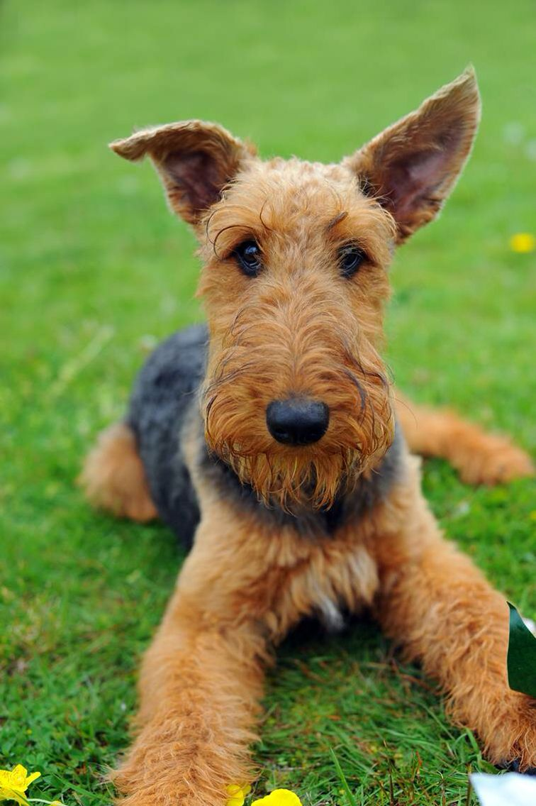 ️ Winston ️ Beautiful dogs, Large dog breeds, Airedale