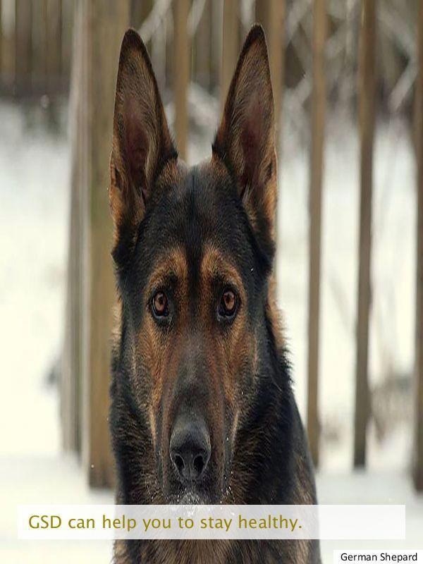 Looking At The Gsd Adoption Shepherd Adoption Guard Dog