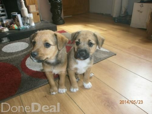 Border Terrier Jack Russell Pups For Sale In Antrim On Donedeal