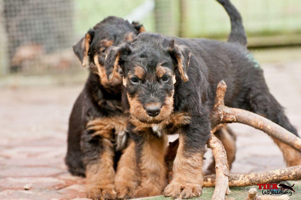 Airedale Terrier Welpen beim Spiel von MN Photography