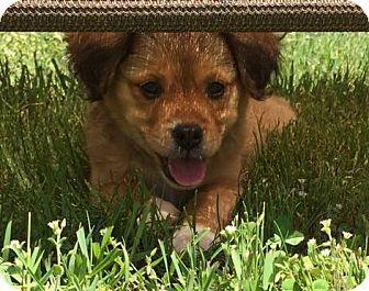 Binghamton Ny Pekingese Chihuahua Mix Meet Odessa A Puppy For