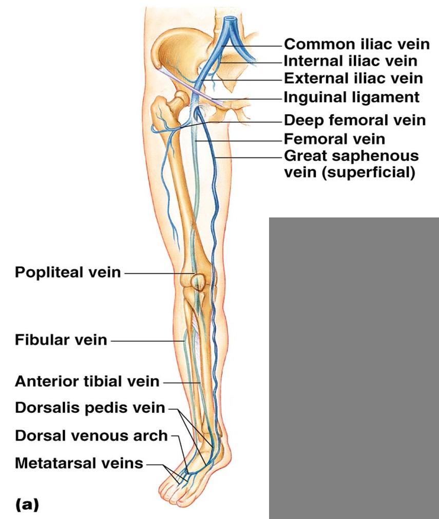 Bio 202 Arteries And Veins Key Lower Limb Pinterest Arteries