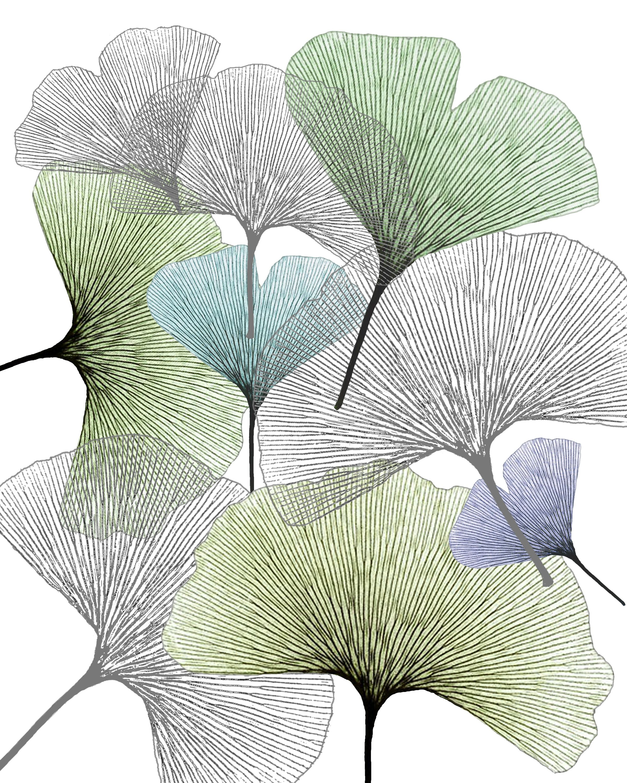 Ginko Biloba Leaf Drawing