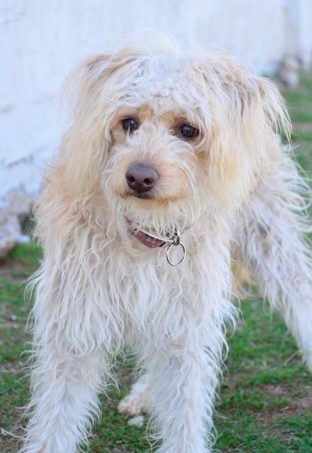 Margeaux Is An Adoptable Poodle Searching For A Forever Family