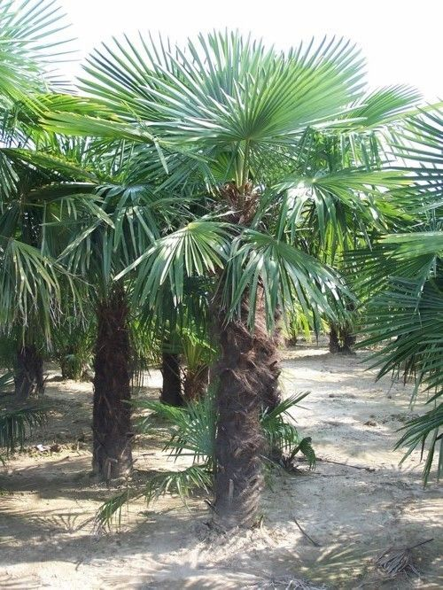 palmier chanvre palmier de chine palmier moulin trachycarpus fortunei p pini re palmiers. Black Bedroom Furniture Sets. Home Design Ideas