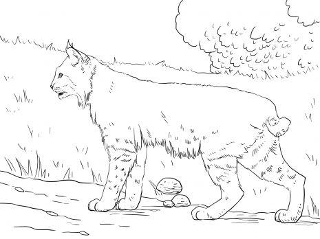 Crouching Bobcat