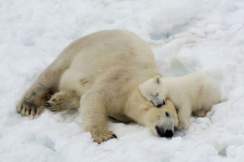 Polar Bear Mother and Cub