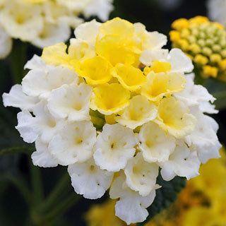 Lantana Lucky Lemon Glow Annual Plants Planting Flowers Flower Garden