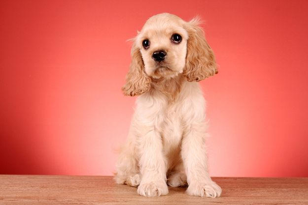 The 30 Cutest Cocker Spaniel Puppies You Ll Ever See Spaniel Puppies Cocker Spaniel Puppies Cocker Spaniel