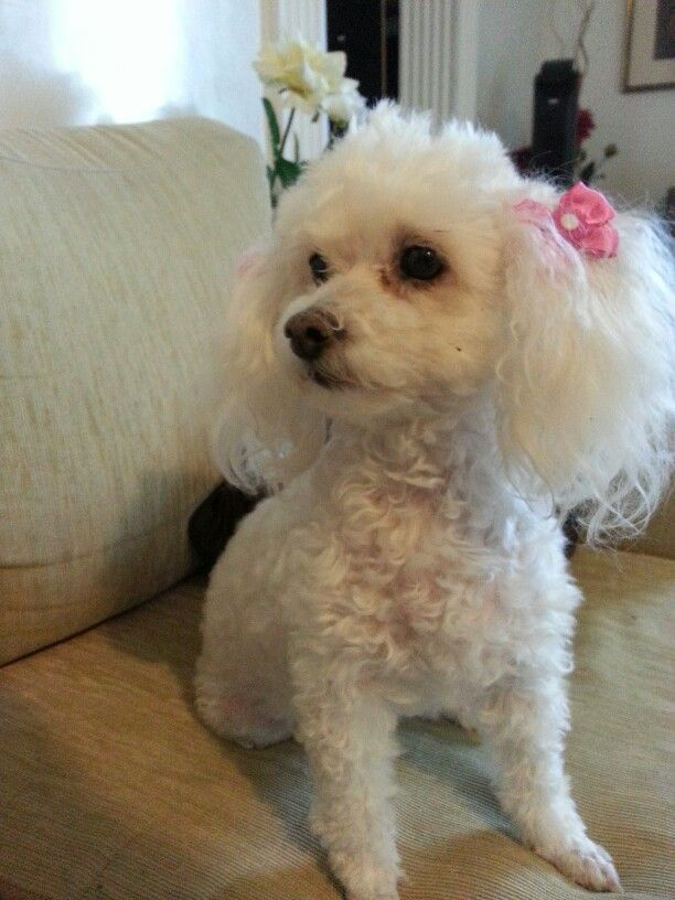 Corte de pelo de poodle toy