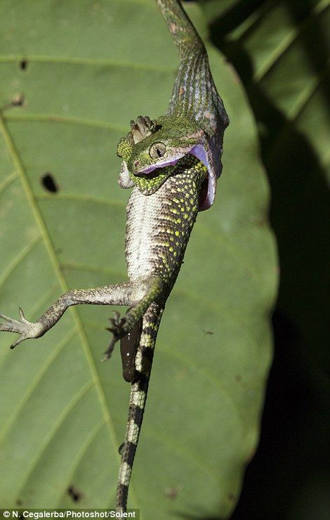 Amazing Pictures Capture Moment Snake Swallows A Lizard トカゲ 捕食 ヘビ