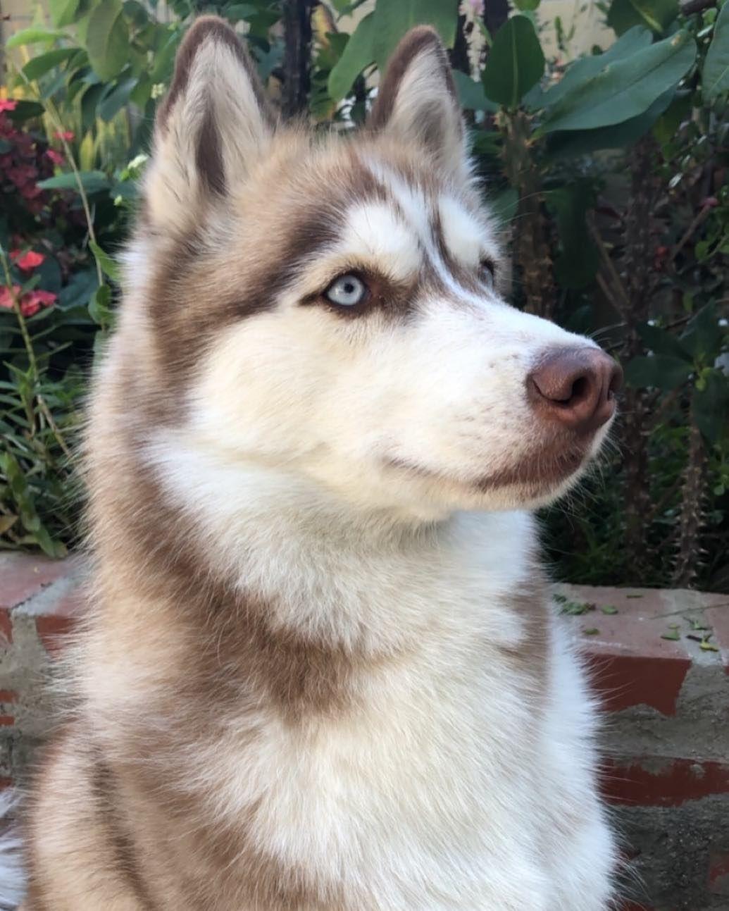 All About The Siberian Husky Siberian Husky Husky Dogs Husky