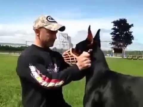 Doberman Dog Perfect Training Good Doberman Good Dog Youtube