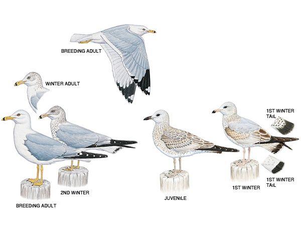 Ring Species Herring Gull Journal