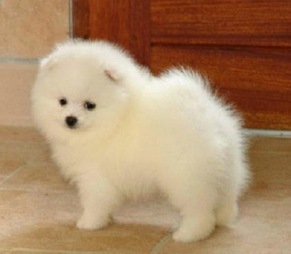 Pomeranian Puppies For Sale In Chennai Zoe Fans Blog Cute