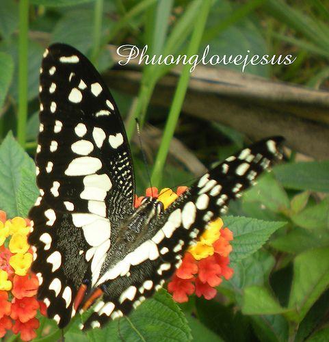 Papilio demoleus, Lime Butterfly's dorsal view of wings ...Cánh trên của bướm Phượng Đốm Vàng Chanh ... - http://www.hoian-mega.com/papilio-demoleus-lime-butterflys-dorsal-view-of-wings-canh-tren-cua-buom-phuong-dom-vang-chanh/