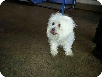 Orlando Fl Maltese Mix Meet Sharpay A Dog For Adoption Dog Adoption Rescue Puppies Kitten Adoption