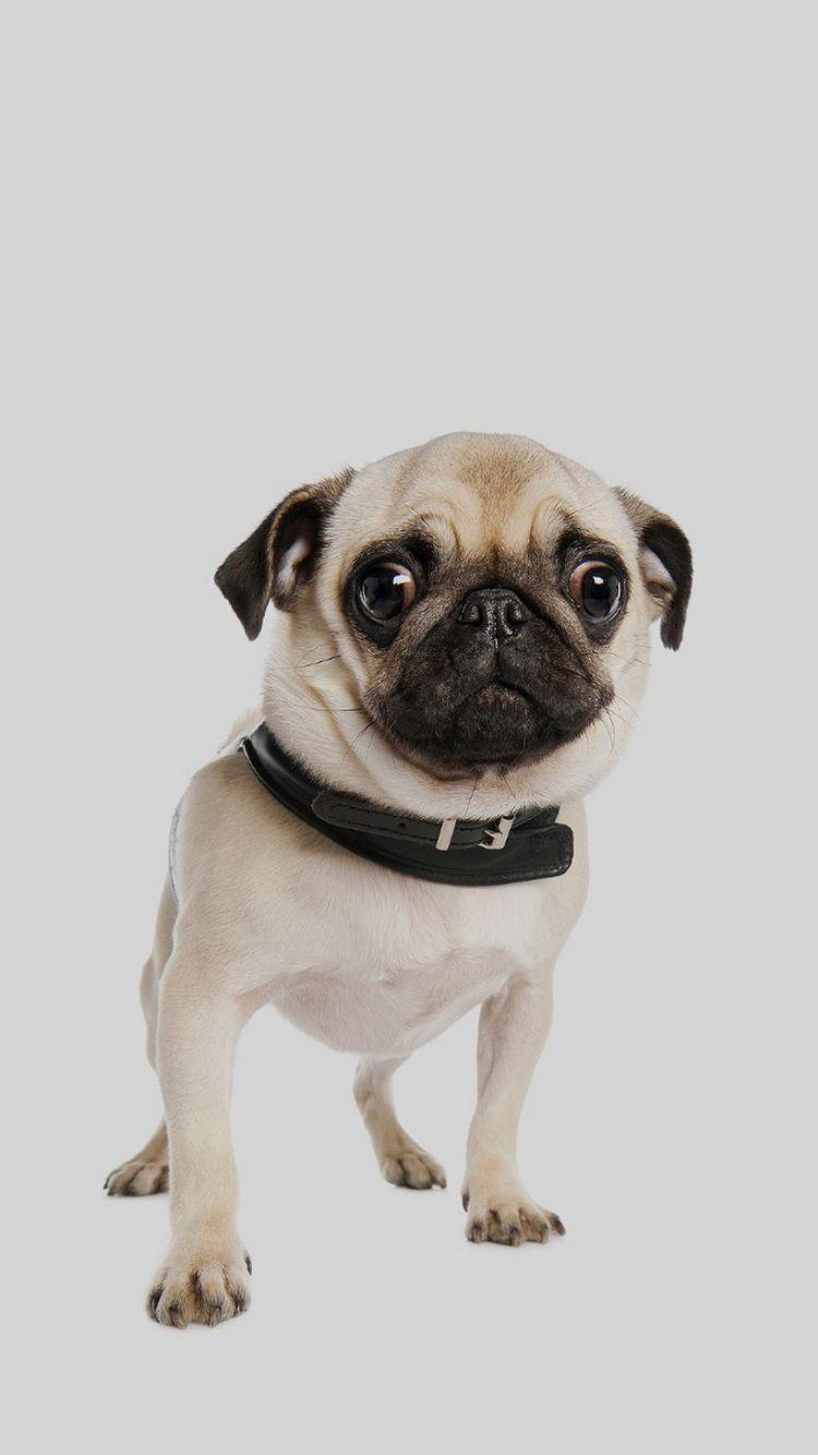 Cute Pug Dog Iphone 6 Wallpaper Cutepuppyiphone5wallpaper Dog