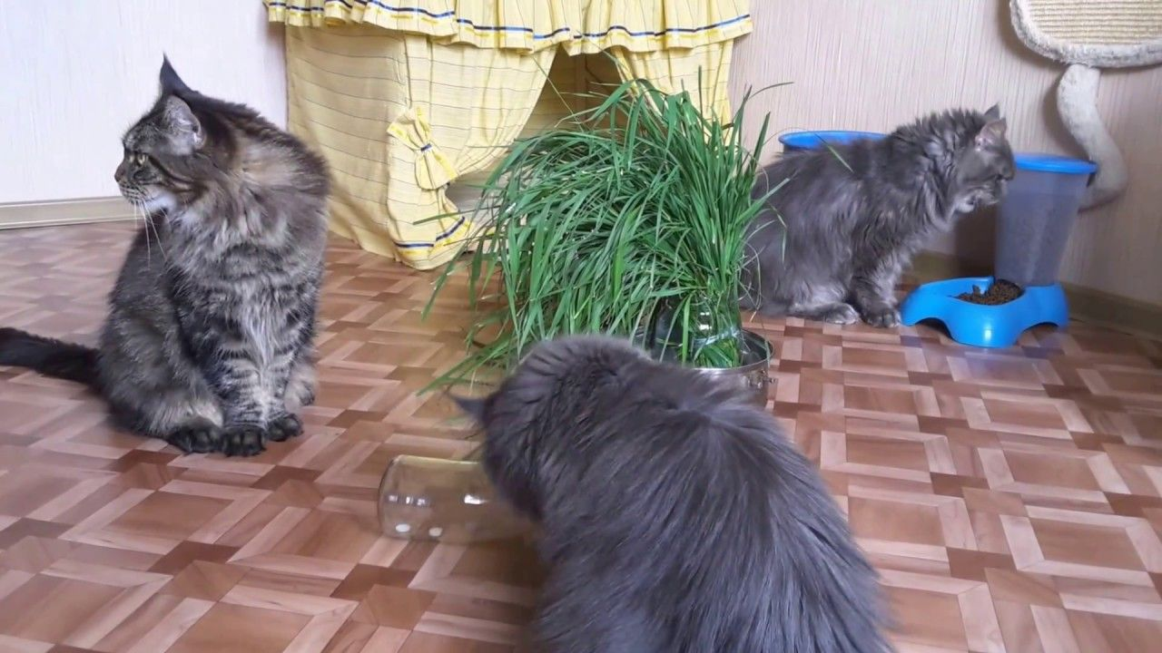 Сats takes leaf of grass from the jar to eat and sing very
