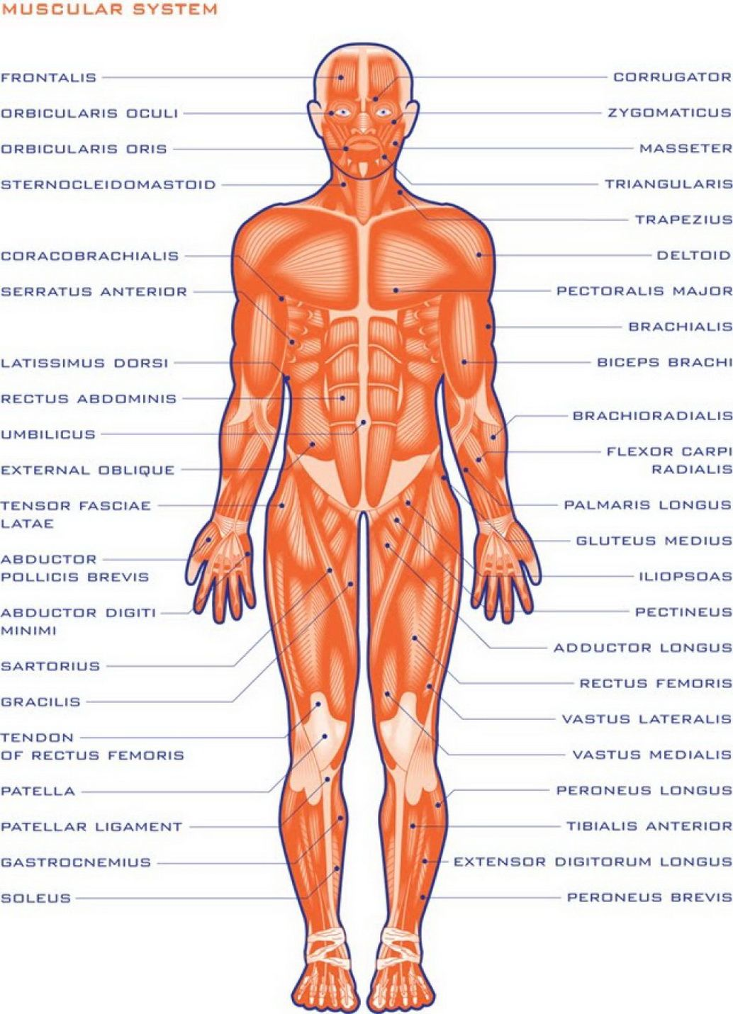 Image result for human organs outline printable   ~Human Anatomy ...