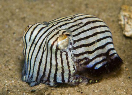 24cd73484f Striped pyjama squid