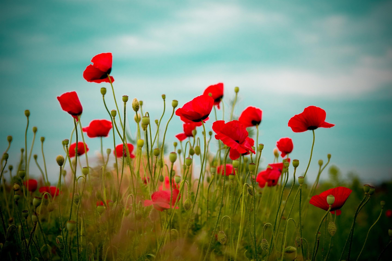 Poppies // Coquelicots