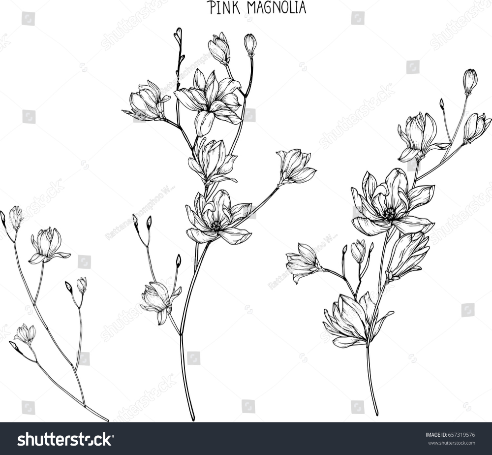 Pink Magnolia Flowers Drawing Sketch Lineart Stock Vector Royalty Free 657319576 In 2020 Flower Drawing Magnolia Flower Flower Sketches