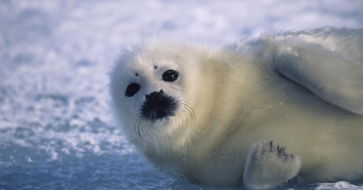La Informacion Sobre Las Focas Blancas Foca Perros Lindos Tortuga Bebe