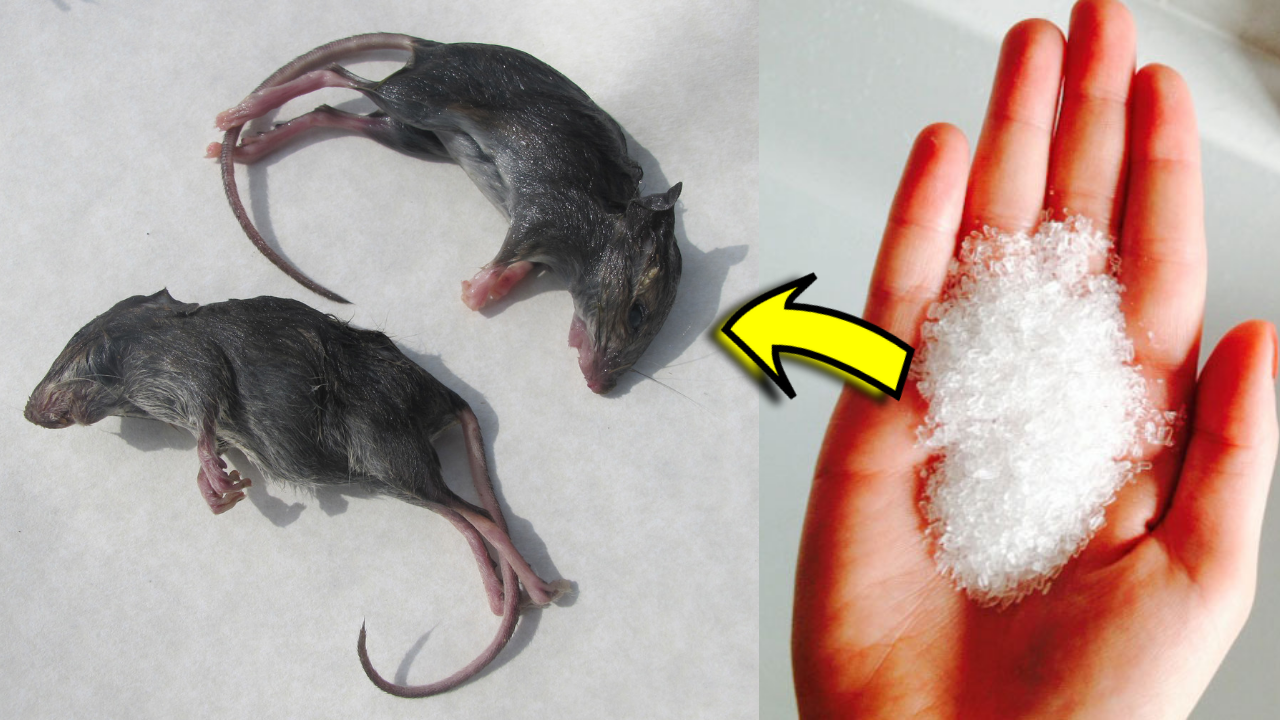 How To Get Rid Of Rats And Mice In Your Home Attic Walls And Ceilings Fast Acting Home Remedies Diy Repair Getting Rid Of Rats Home Remedies