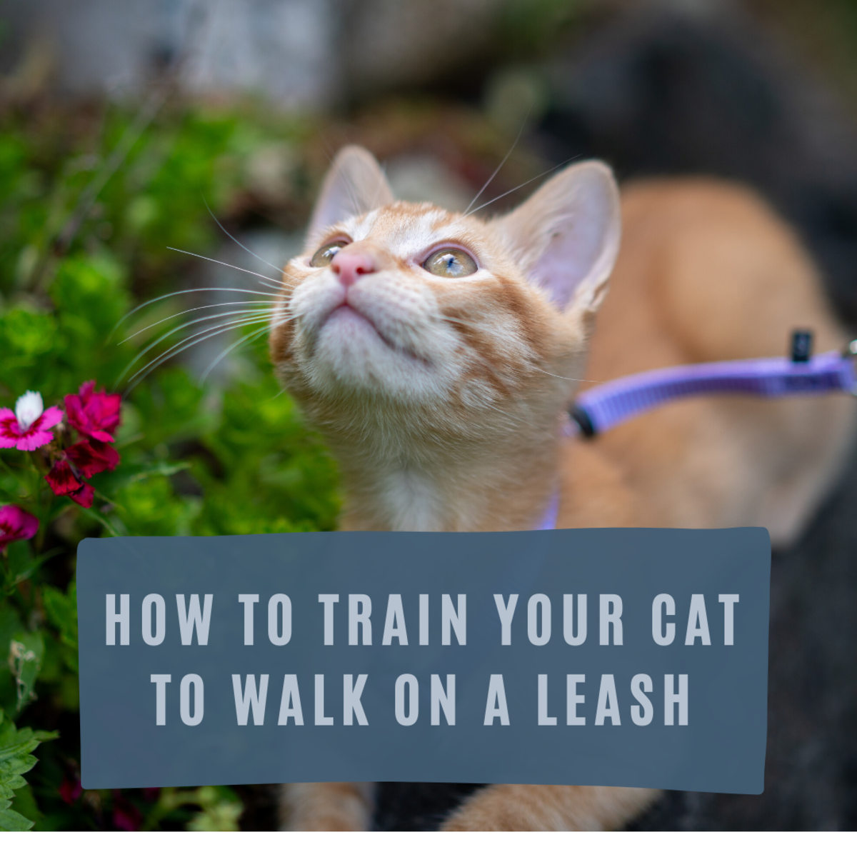 Yes Cats Can Walk On Leashes Training Your Cat To Walk On A Leash Or Harness Comes With Its Advantages Learn How To Acclimate In 2020 Training A Kitten Cats Leashes
