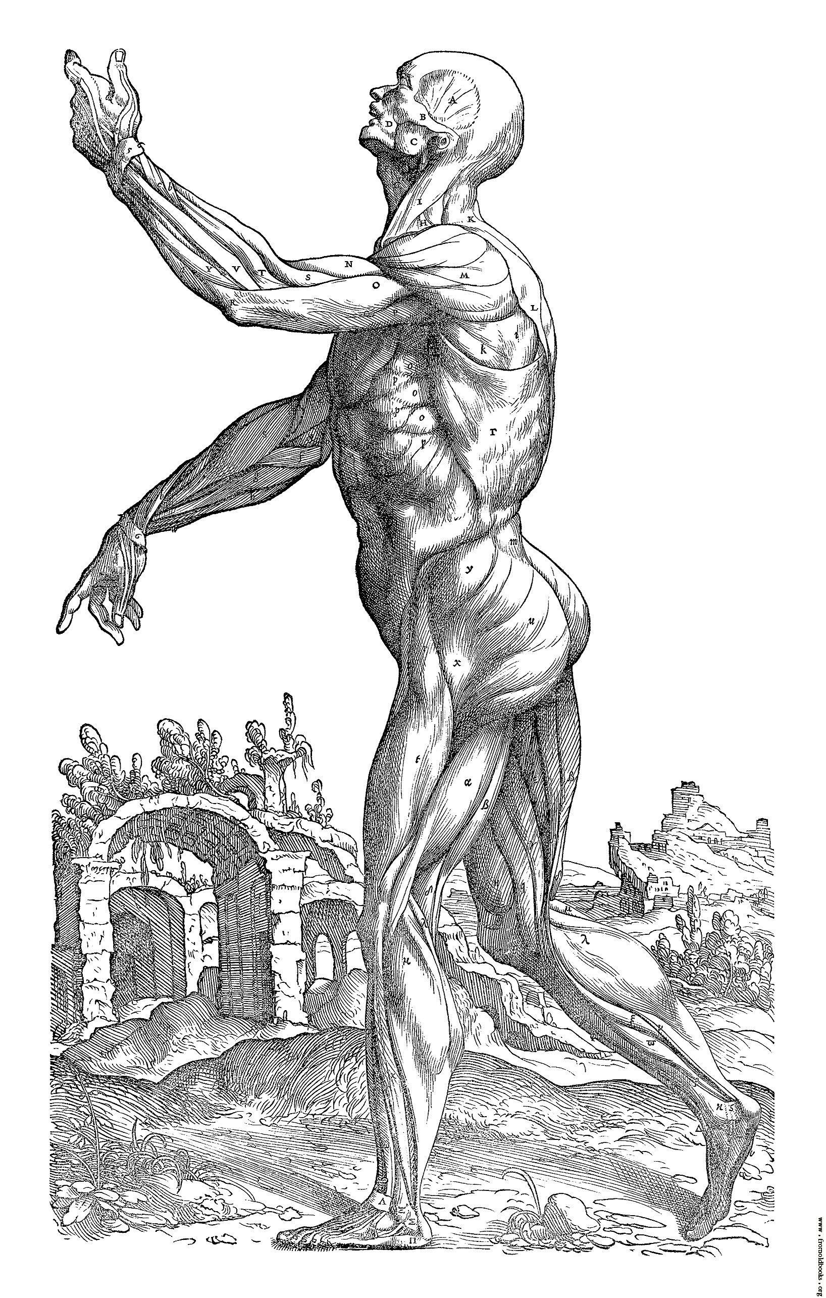 Andreas Vesalius Musculature Of A Man