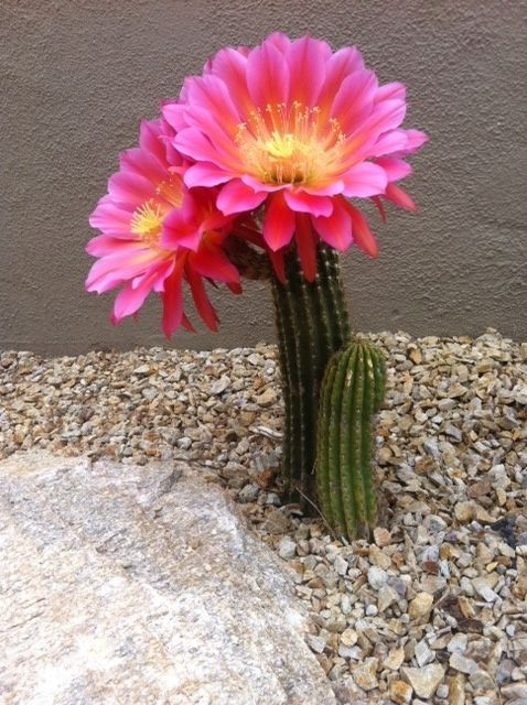 pretty cactus flower