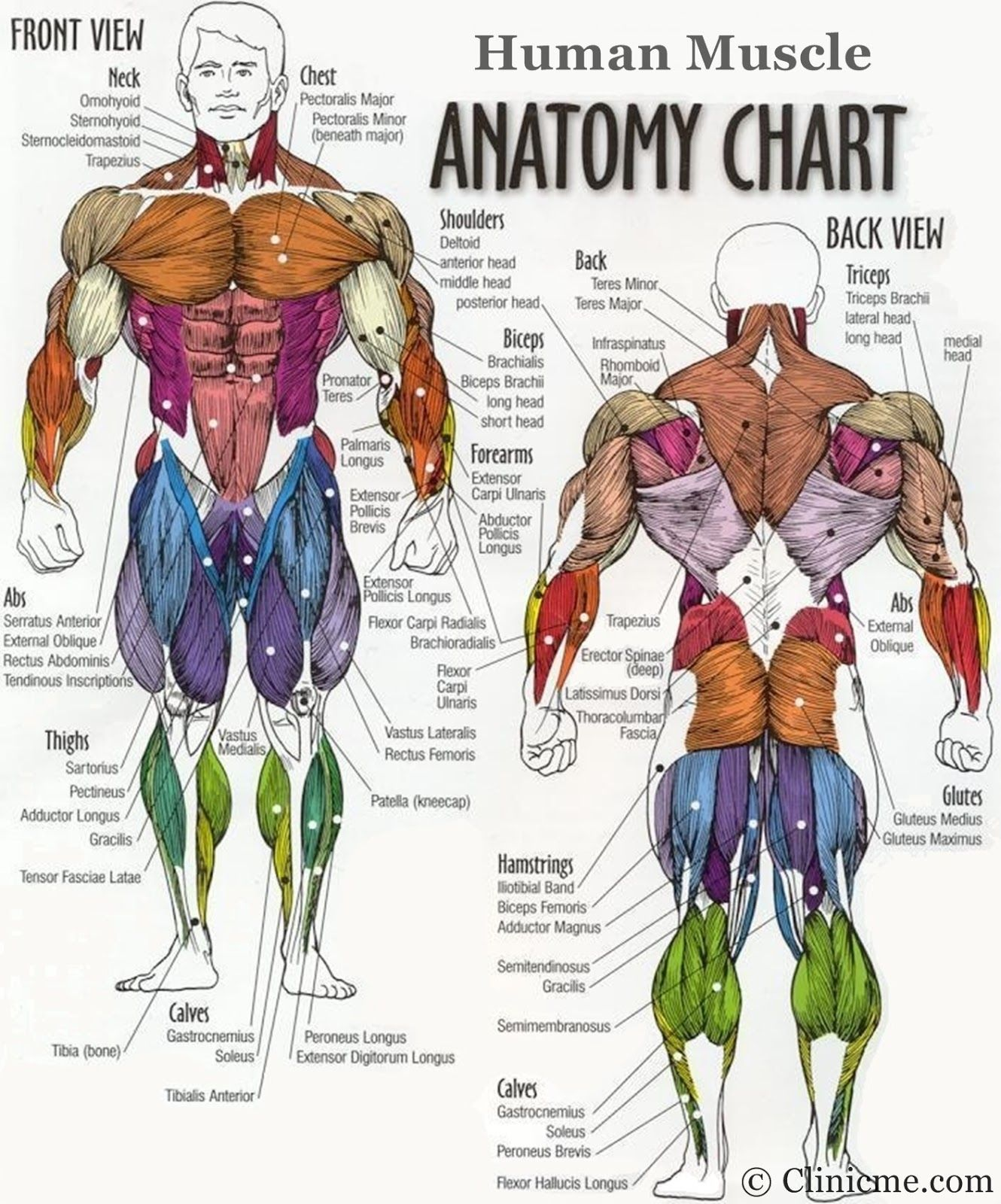 Chest Muscle Groups Diagram - Find Wiring Diagram •